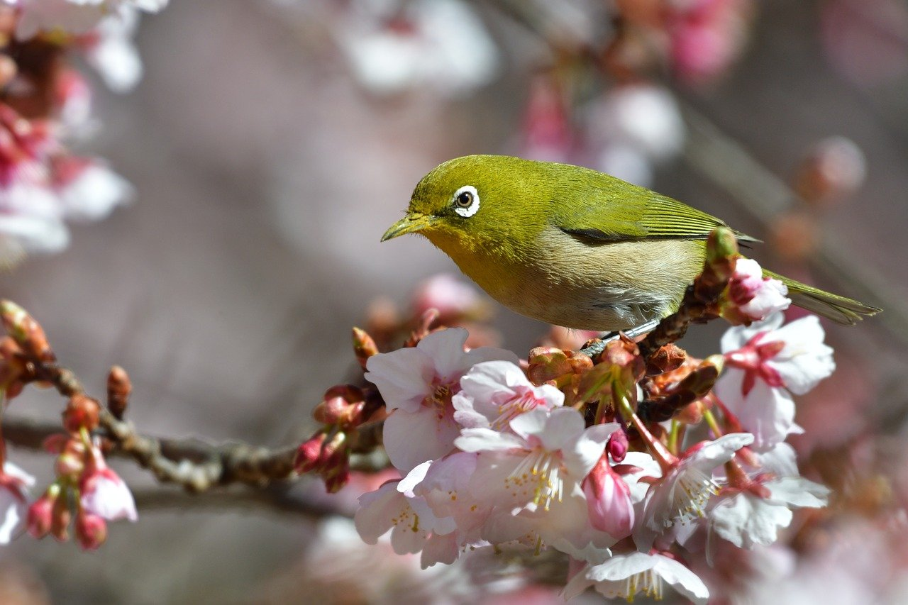 春の野鳥メジロ観察
